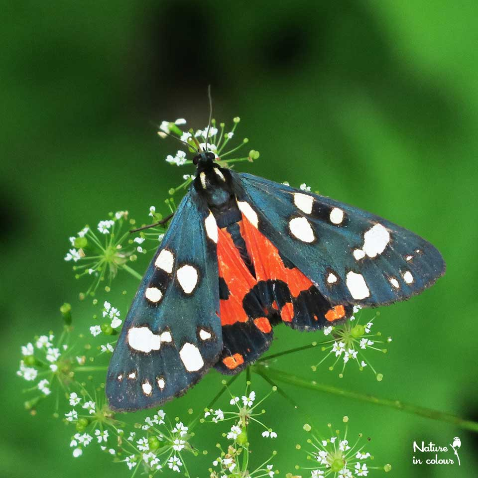 "Did you know that there are tigers in Slovenia? This moth is one of them, and it is called the ""Scarlet tiger""."