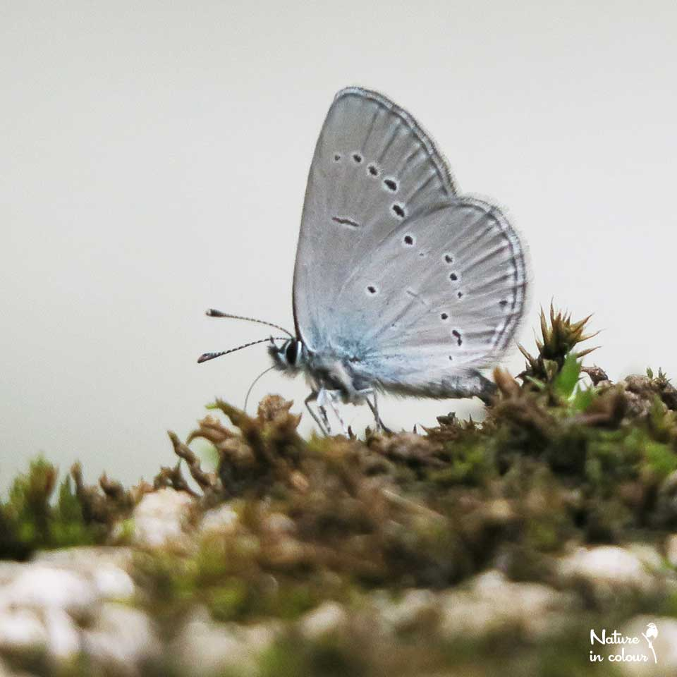 Small blues frequently come to drink along streams