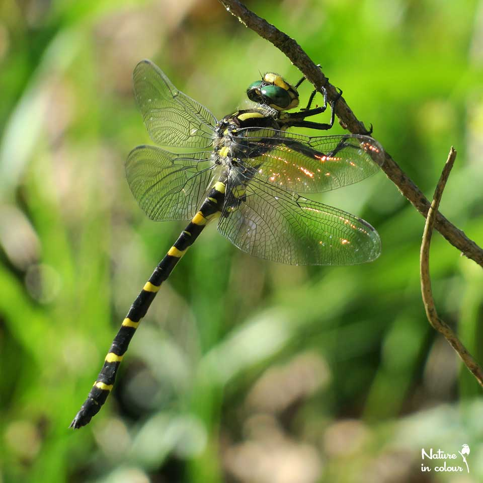 The Balkan goldenring is one of the largest dragonflies in Europe.