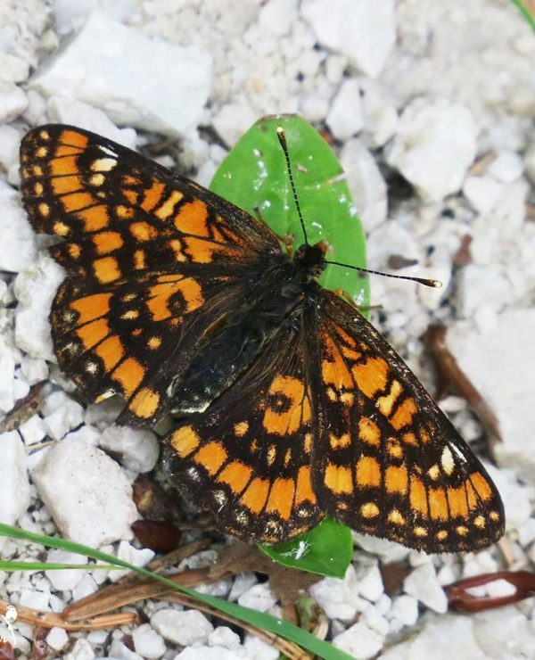 The Scarce fritillary is indeed a scarce species in southern Slovenia, we only found it in few places.