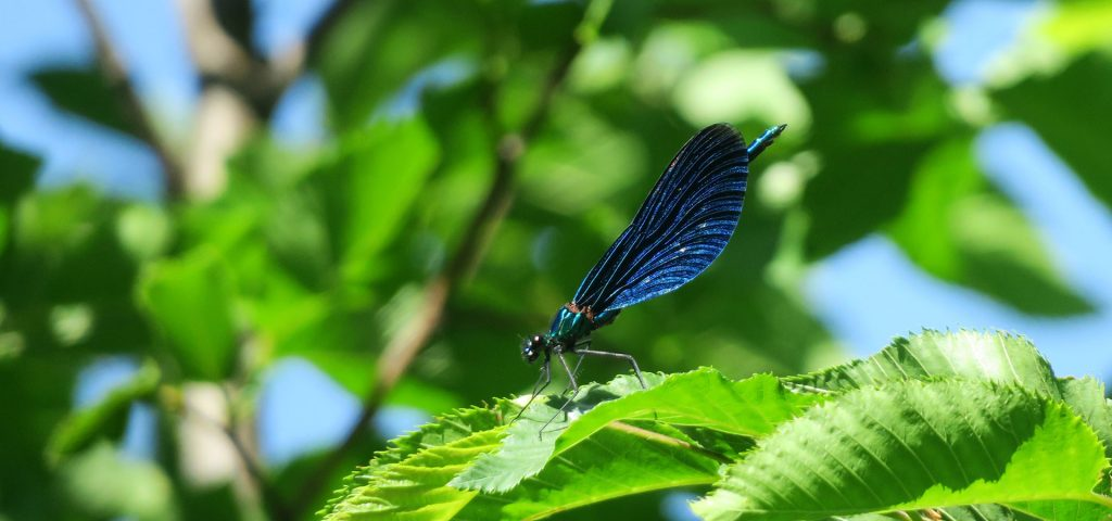 Beautiful demoiselle at our Hike through the Iška gorge in Slovenia.