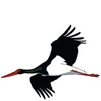 Black stork, a species which we sometimes see during our nature tour