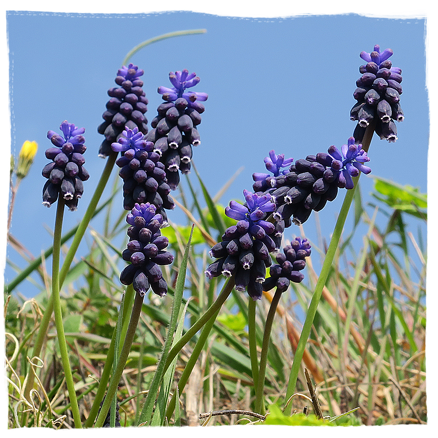 wild grape hyacinths in Slovenia