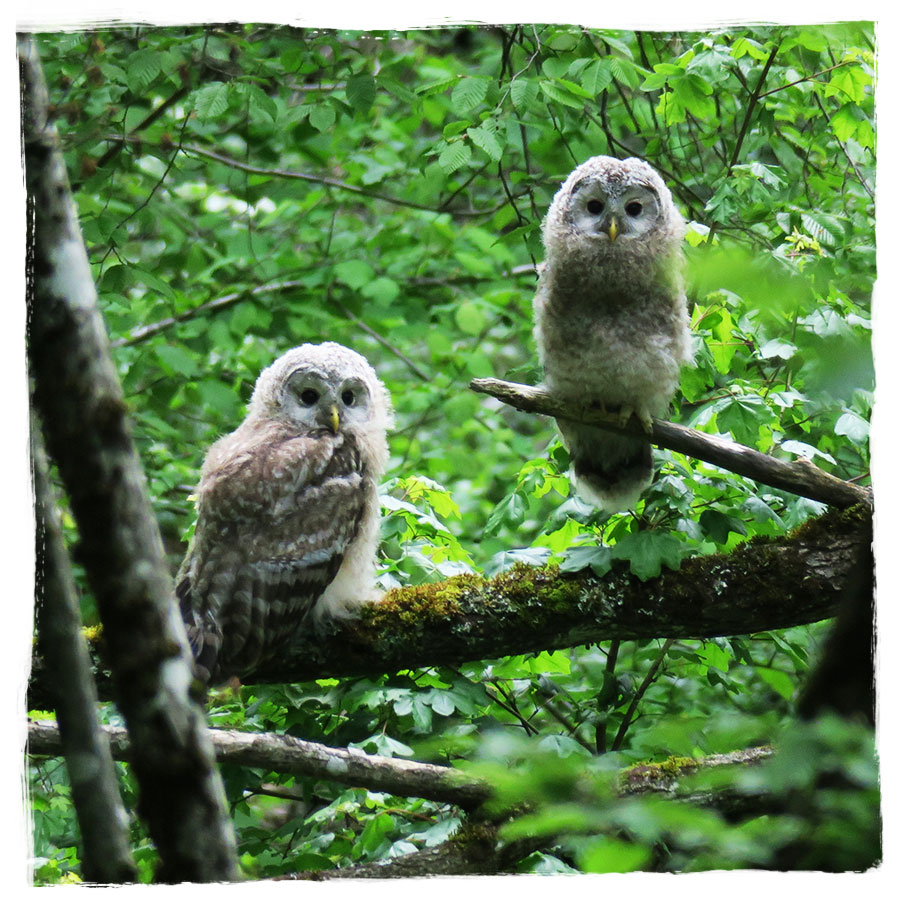 Young Ural owls (Strix uralensis) in a Slovenian forest.