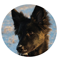 Vranja, Dutch shepherd and assistant nature guide in training
