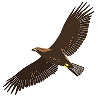 A Golden eagle: a species which we see during many of our nature tours in Slovenia