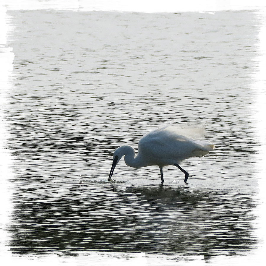 A little egret wading in clean water at the Slovenian coast